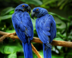 Hyacinth Macaw Wallpapers 22
