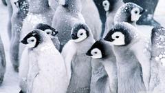 Baby Penguins HD desktop wallpapers Widescreen High Definition