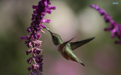 Wallpapers For Hummingbird Wallpapers