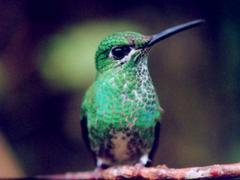 Humming Bird Wallpapers