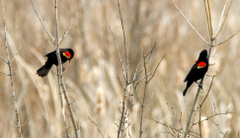 Ohio Bird Photo Collection Red Winged Male Blackbirds