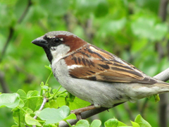 Sparrow Sitting in Tree Wallpapers