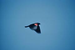 Red winged blackbird image public domain image