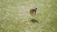 Birds flying grass nature sparrow wallpapers