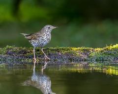 Brown and white bird near body of water song thrush HD