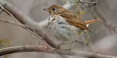 Hermit Thrush photos and wallpapers Collection of the