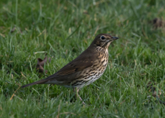 stock photo of grassland Song Thrush speckled