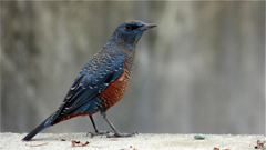 Blue brown and black bird blue rock thrush rock thrush
