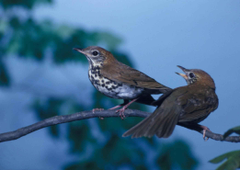 picture pair wood thrushes songbirds perching branch