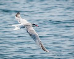 White and grey bird near body of water common tern HD