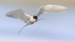 Brown birds tern HD wallpapers