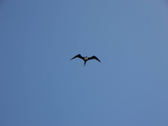 tern sternidae