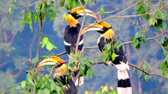 Rhinoceros Hornbills Full HD Wallpapers and Backgrounds Image