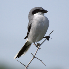 Loggerhead Shrike photos and wallpapers Collection of the