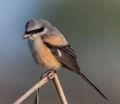Beige and gray bird long