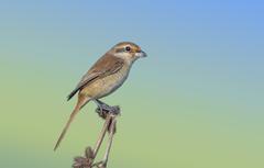 Wallpapers bird thorn Isabelline Shrike image for desktop
