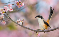 Wallpapers cherry background bird branch spring