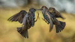 Two brown birds birds european starling HD wallpapers