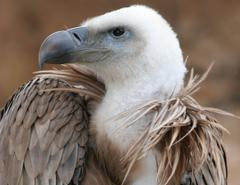 HD Griffon Vulture Wallpapers