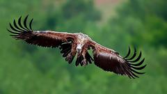 wallpapers Vulture scope wings desktop wallpapers in