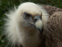 Griffon Vulture Head Close Up Wallpapers 1024×768