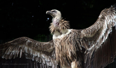 HD Himalayan Griffon Vultures Wallpapers