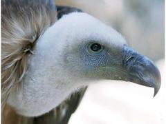 griffon vulture wallpapers
