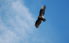 Suzanne Britton Nature Photography Turkey Vulture 2