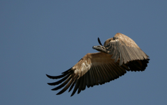 Wallpapers Cape Vulture in flight