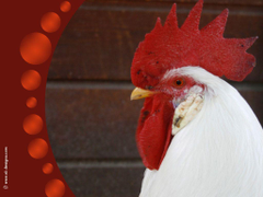 rooster wallpapers