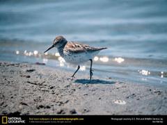 sandpiper image