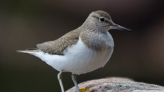 Common Sandpiper Ultra HD Desktop Backgrounds Wallpapers for