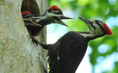 Woodpecker HD Wallpapers