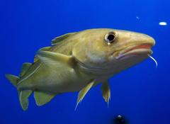 Changes in forage fish abundance alter Atlantic cod