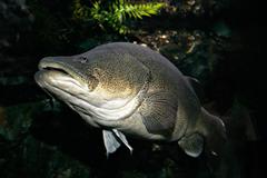 Murray cod