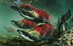 Wallpapers Fish Oncorhynchus nerka Salmon Sockeye