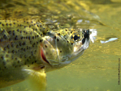 Rainbow Trout Pictures