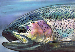 Rainbow Trout Fly Fishing Art Gift