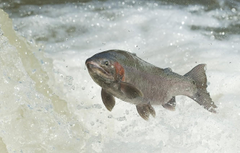 Wallpapers water fish RAINBOW TROUT image for desktop