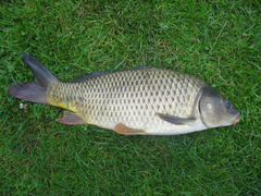 Common carp photos and wallpapers Nice Common carp pictures