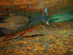 HDWP 50 Trout Wallpapers Trout Collection of