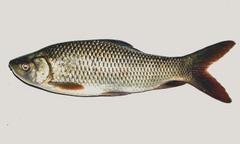 stock photo of animal background carp