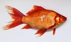 Animal Aquarium Carassius Carp Fin Fish Fish