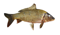 Carp Wallpapers High Quality
