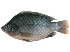 Tilapia Fish Characteristics types breeding and more