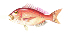 Common Seabream Characteristics reproduction habitat and