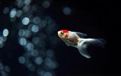 Goldfish Wallpapers 7