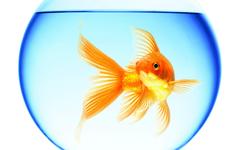 Goldfish Wallpapers 23