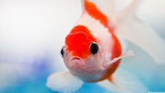 Goldfish Aquarium HD Desktop Wallpapers Widescreen High