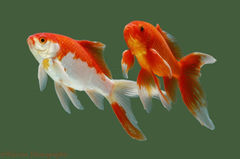 Goldfish Fish Facts Wallpapers Pictures